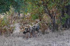 10075525 (wolfgangkaehler) Tags: africa nationalpark african wildlife predator zambia africanwilddog southernafrica predatory 2016 africanhuntingdog zambian southluangwanationalpark africanwilddoglycaonpictus