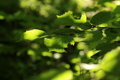Green Leaves In The Sun (gripspix (OFF)) Tags: 20160712 nature natur plant pflanze blattwerk laub foliage leaves green grn