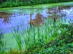 (jessicabouloutian) Tags: green nature water canal algae cattail