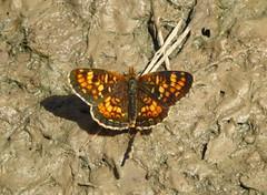 Field Crescent, Phyciodes pratensis pratensis (vietnamvera) Tags: fieldcrescent phyciodespratensis canadianbutterflies canadaflorafauna canadianrockymountains canadianlepidoptera