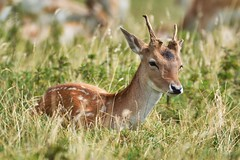 Fallow Deer (deanmorgan4) Tags: dyrham nt nature deer fallowdeer