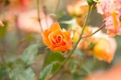 2016_07_Coburg Rosengarten-45 (mimesfotografie) Tags: park coburg sommer natur rosen rosengarten lichtundschatten