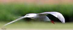 Common tern (alpenfrankie) Tags: canon eos 1100d animals wildlife nature ywt northcave reserve