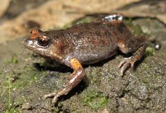 Bibron's Brood Frog (Pseudophryne bibroni) (Heleioporus) Tags: south australia frog hills adelaide brood pseudophryne bibroni bibrons