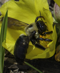 Bee_SAF9732 (sara97) Tags: bee copyright2016saraannefinke endangered flower flowering floweringplant insect missouri nature outdoors photobysaraannefinke pollinator saintlouis towergrovepark urbanpark