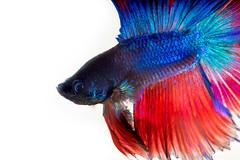 Vibrant #3 (BoXed_FisH) Tags: blue red portrait pet fish macro aquarium singapore minolta sony whitebackground colourful betta splenden sonyalpha sonya7 minoltamacro100mm