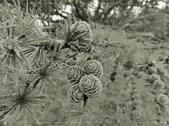 nature (friedrichfrank1966) Tags: zapfen pinecone tap monochrome outdoor einfarbig wald forest wiese meadow ste boughs