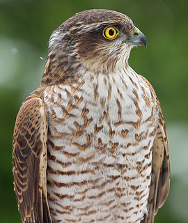 SPARROWHAWK....Female Portrait, wild bird....Powys....Press L....last image for a while.