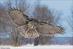 Great Gray Owl In Flight (Daniel Cadieux) Tags: owl greatgrayowl flight fly flying wings tail glide hunt hunting ottawa winter snow cold