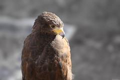 OKIMG_7459 (taymtaym) Tags: vinci fi firenze festa dell unicorno festadellunicorno uccello bird rapace eagle aquila