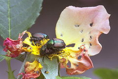 Yet another way to enjoy a rose (Jeff Mitton) Tags: japanesebeetle papillajaponica beetle insect herbivore earthnaturelife wondersofnature