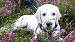Charlie 13.5 weeks (Mark Rainbird) Tags: canon charlie dog powershots100 puppy retriever uk ufton england unitedkingdom