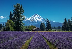 Lavender Valley 2387 (jim.choate59) Tags: lavender lavenderfarm mthood oregon mountain flowers farm serene bluesky snow jchoate on1pics