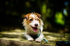 Camera Training (moaan) Tags: dog kobbe hyogo japan jp jackrussellterrier kinoko portrait dogportrait bokeh dof utata 2016 summilux 50mm f14 summilux50mmf14asph leica mp leicamp type240