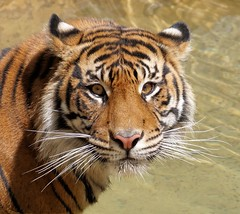 Miss Beautiful (greekgal.esm) Tags: sumatrantiger tiger tigress bigcat cat feline animal mammal carnivore indah losangeleszoo lazoo losangeles griffithpark california sony a77m2 a77mii sal70300g water face profile