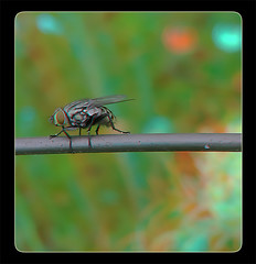 Flesh Fly on a Wire 3 - Anaglyph 3D (DarkOnus) Tags: pennsylvania buckscounty darkonus closeup macro huawei mate8 cell phone 3d stereogram stereography stereo insect flydayfriday fly day friday hfdf fdf wire sarcophagidae flesh anaglyph