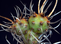 It's a Cactus (roobrew) Tags: cactus plants spines