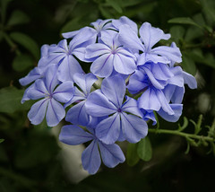 Plumbago (tresed47) Tags: 2016 201608aug 20160805longwoodflowers canon7d chestercounty content flowers flowerscontent folder longwoodgardens otherkeywords pennsylvania peterscamera petersphotos places plumbago takenby us