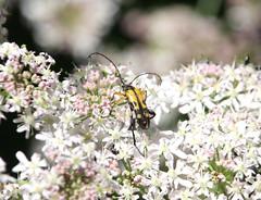 Beetles (ray 96 blade (retired)) Tags: strangaliamaculata insects englishnature awalkonthewildside stodmarshnnr wildflowers naturewalk