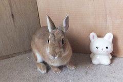 Ichigo san 289  (mensore) Tags: brown bunny cute family ichigo netherland dwarf netherlanddwarf pet rabbit