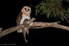 Masked Owl -2938 (Henry.Cook) Tags: maskedowl owl tytonovaehollandiae tyto bird birding juvenile baby cute predation possum ringtailed