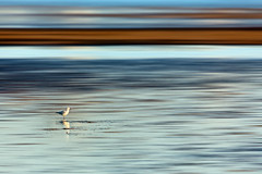 Seagull on the flats (Louise Denton) Tags: eastpoint darwin beach mudflats mud sand lowtide blue ocean water nt northernterritory australia seagull bird blur reflection