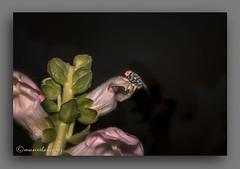 TRICOMAS. (manxelalvarez) Tags: tricomas excrecencias pelos flora flores moscas dipteros