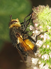 Nowickia ferox (Martin Cooper Ipswich) Tags: nowickia ferox nowickiaferox taxonomy:binomial=nowickiaferox tachinid tachinidae diptera fly garden ipswich suffolk