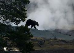 Grizzly Bear Silhouette (mtetcher) Tags: bear grizzlybear wildlife nature mammal naturephotography nikon nikonsigma d4s sigma sigma150600mmsport yellowstone wyoming animal