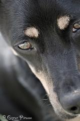 DSC_6679.jpg (Oscar Pirazzo) Tags: dog brown black eye love cane oscar nikon think nero amore occhio marrone pensare nikkor105mmf28gvrmicro d7000 oscarpirazzo