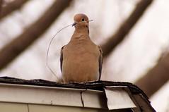 Nesting (kendoman26) Tags: bird explore mourningdove sonyalpha minolta75300 sonya57 sonyslta57