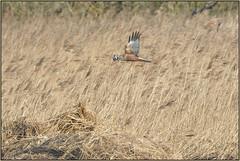 Marsh Harrier (Full Moon Images) Tags: building male bird nature flying nest wildlife bcn flight reserve national trust marsh prey fen cambridgeshire birdofprey harrier reedbed woodwalton nnr greatfen greatfenproject