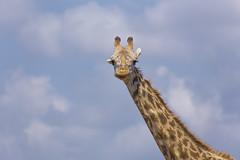 _MG_6138 (farhan1mirza) Tags: wild nature animal canon kenya wildlife 6d nnp nairobinationalpark