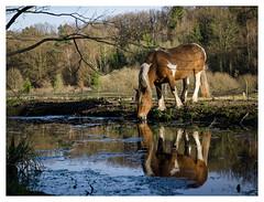 Le buveur d'image (Clydomatic) Tags: cheval image reflet baiser