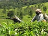 women of India (emma2thomas) Tags: people india nature tea economy tamilnadu nilgiris strongwomen womenofindia teapickers emmathomas