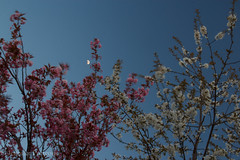 Spring is for moving (JennPorteous) Tags: trees sky moon nature spring movement edinburgh wind blossom