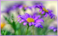 River Daisy HDR (tdlucas5000) Tags: flower macro purple bokeh pastel bouquet hdr creamy photomatix riverdaisy