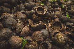 Brazil nuts (Diego Gurgel) Tags: brazil brasil amazon nikon rainforest nuts diego nikkor sustainable gurgel xapuri