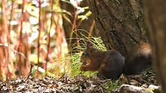 Red Squirrel (Jay-Aitch) Tags: trees light red nature forest woods squirrel nuts reserve formby