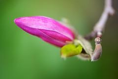 Magnolia Bud (imageClear) Tags: flower color beauty aperture nikon flickr bud lovely delicate photostream springtime 105mm fuchsian imageclear