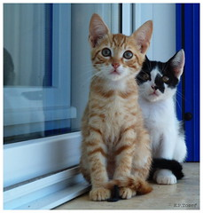 kittens (amazingstoker) Tags: white black cute cat ginger kitten sitting looking smudge step license curious marmalade notmycat
