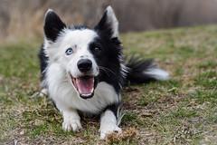 Bandit (Rainfire Photography) Tags: dog ontario canada smile scarborough bordercollie bandit heterochromia rainfirephotography