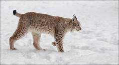 (c)WMH_2015_02_23_1701-Eurasian-Lynx (WesleyHowie) Tags: animal lynx carnivore