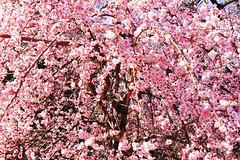 (setagayatoieba) Tags: park japan tokyo spring   setagaya         setagayatoieba
