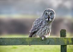 Twit twoo (Martzimages) Tags: owl martzimages fence fencefriday hff bird raptor