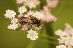 Andrena cf. minutula - Dwergzandbij species (henk.wallays) Tags: