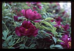 (Attila Pasek) Tags: fujichrome fujifilm pentax50mmf17 pentaxsuperme velvia100 film flower macro transparency