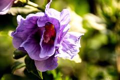 Hibiscus_01 (Uwe1112) Tags: blte blumen ctltravelichter ctlfototreff d5500 de fototreffctl germany garten holstein nikon natur reinfeld sonne schleswigholstein sommer stormarn uwe1112 uwebrandt uwe zuhause hibiscus