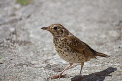 IMG_3885_edited-1 (Lofty1965) Tags: ios islesofscilly oldtown bird thrush