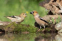 Breakfast Time .... (Claudia Brockmann) Tags: natur nature wildlife wasser water wald forest kernbeisser kernbeisserjunges hawfinch hawfinchbaby vgel vogel bird birds